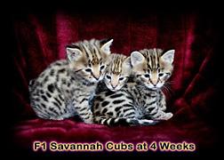 F1 Savannah Cubs at 4 Weeks Old