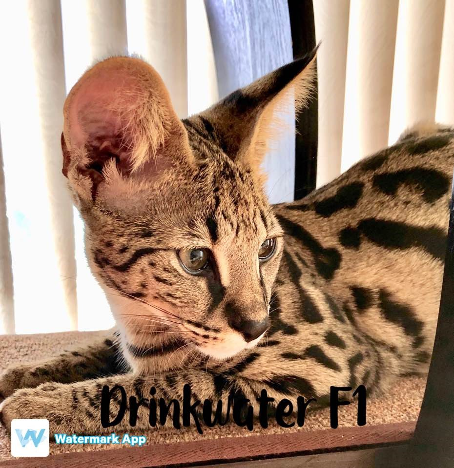 F1 Savannah Kittens For Sale