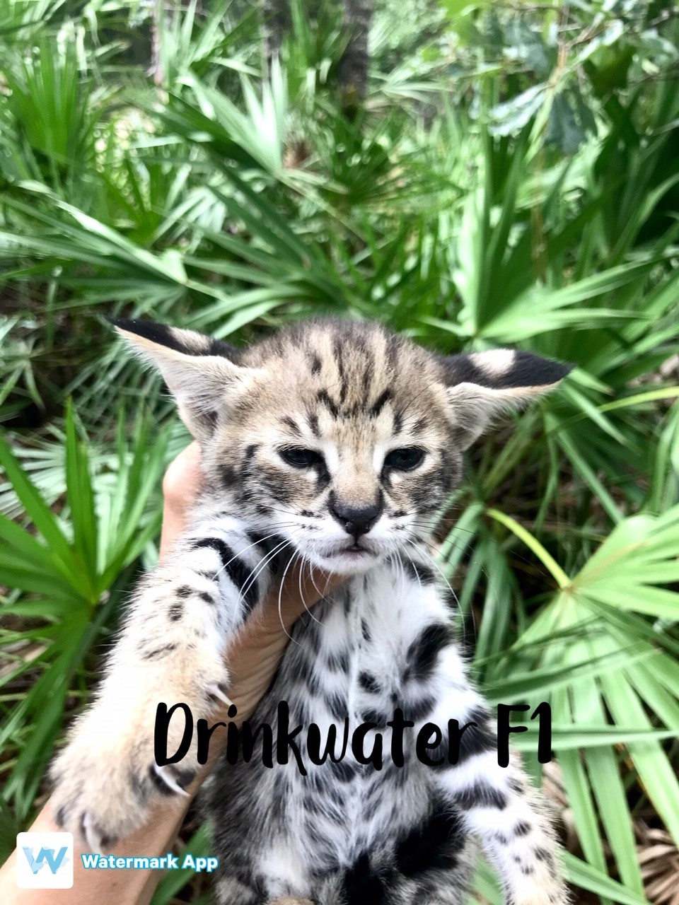 Available F1 Savannah Kittens For Sale At Drinkwater F1 Savannah Cats